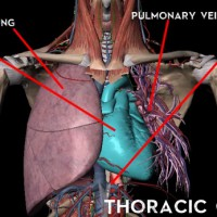thoracic-cavity