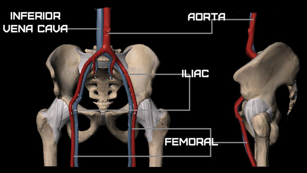 Pelvic Girdle - Vascular