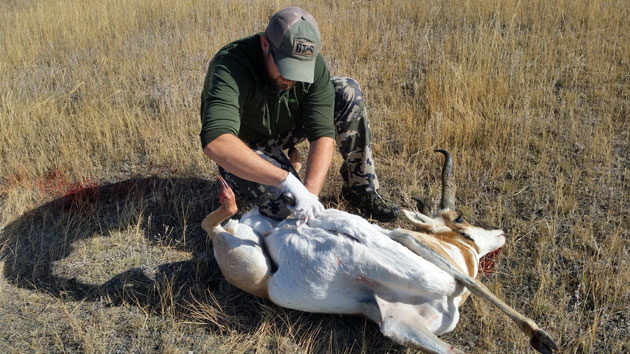 Field dressing a Montana antelope, fall 2015